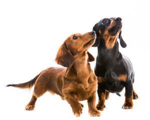 Muddy River dachshunds - Dog Breeders