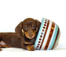 Dachshunds - Dog Breeders