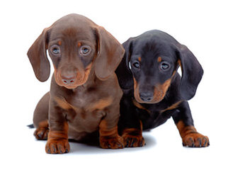 Hubbard Mini Dachshunds - Dog and Puppy Pictures