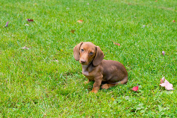 Marissa Rose Dachshunds - Dog and Puppy Pictures