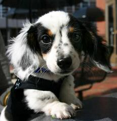 Little Dixies Doxles Dachshund - Dog Breeders
