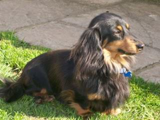 Marissa Rose Dachshunds - Dog Breeders