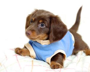 Daisy's Dachshunds - Dog Breeders