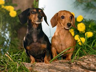 Marissa Rose Dachshunds - Dog Breeders