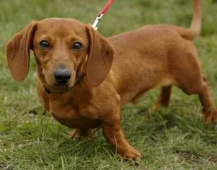 Micsplace Dachshunds - Dog Breeders
