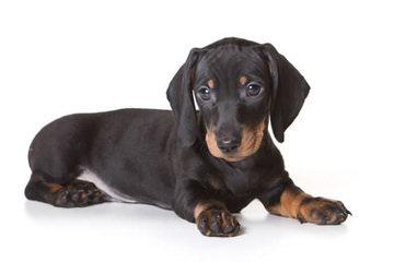 Carrol - Dog Breeders