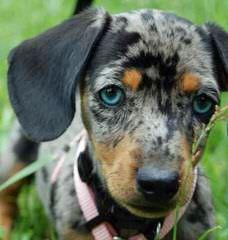 Three D's Miniature Dachshunds - Dog Breeders