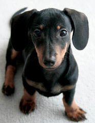 Danny Boy's Dachshunds - Dog Breeders