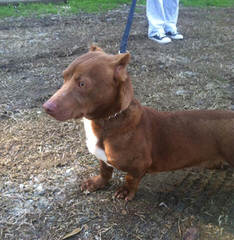 Dashshund Puppys For Sale - Dog Breeders