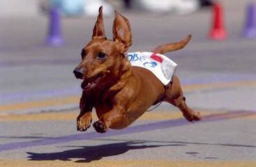 Hotdog Dachshund Kennels - Dog and Puppy Pictures