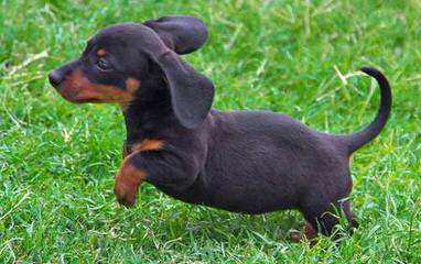 Ckc Registered Miniature Dachshunds - Dog and Puppy Pictures