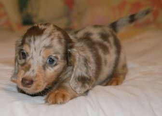Riutta's dachshunds - Dog Breeders
