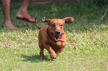 Danny Boy Dachshunds - Dog Breeders