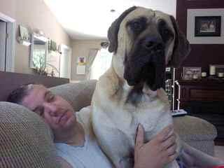 SZB MASTIFF - Dog and Puppy Pictures