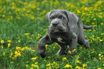SZB MASTIFF - Dog Breeders