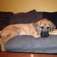 Daniff Puppies - Dog Breeders