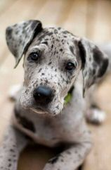 Olympicdogs Dane Mastiff Crosses – Boerboels, Dogos - Dog Breeders