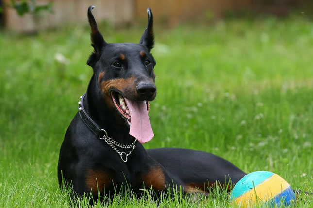 Doberman Pinscher Dogs and Puppies