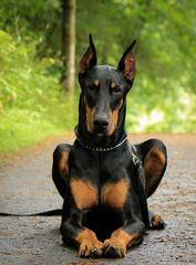 Erobern Dobermans - Dog Breeders