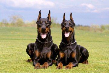 Doberman Looking To Breed - Dog Breeders