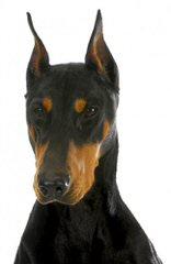 Doberman Von Ryans Luxus - Dog Breeders