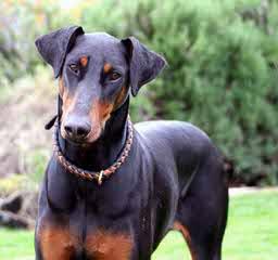 Sierra Dobie Farms - Dog Breeders