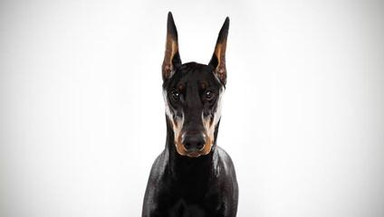 Doberman Puppies - Dog Breeders