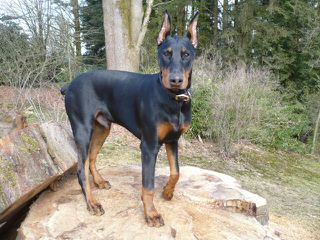 Erobern Dobermans - Dog Breeders