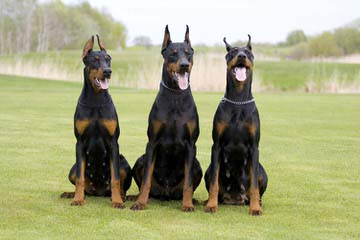 Das Haus Anubis - Dog Breeders