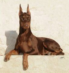 Doberman Looking To Breed - Dog Breeders