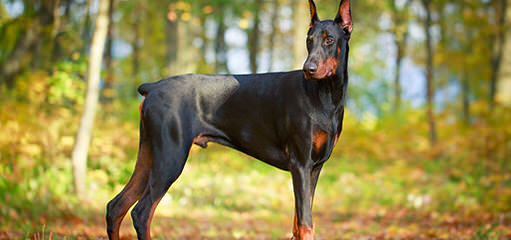 Doodleman Pinchers/Dobermans - Dog Breeders