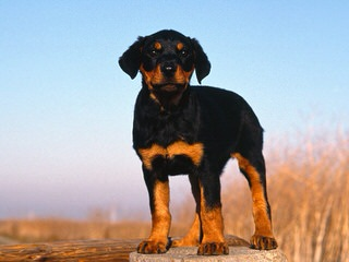 Europeandobermanstud Inc. - Dog Breeders