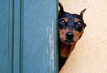 Mossyoak Dobermans - Dog Breeders