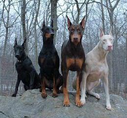 Dinas Affaraon - Dog Breeders