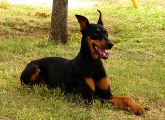 Dobermans Of Distinction - Dog Breeders