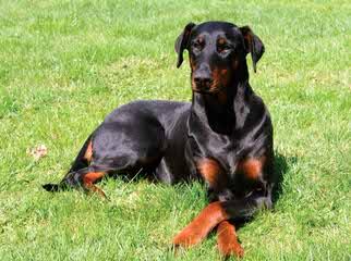 StormSoul Stud Service - Dog Breeders