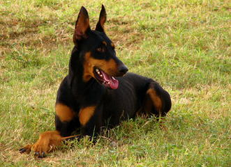 royalmajestic dobermans - Dog Breeders