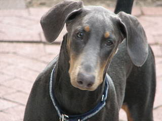Champion Akc Registered Dobermans And Studding Service - Dog Breeders