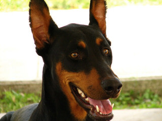 Dobermans - Dog Breeders