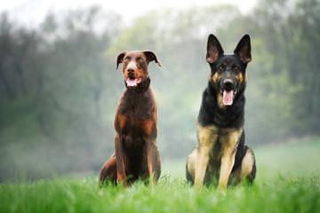 Doberman Puppies - Dog Breeders