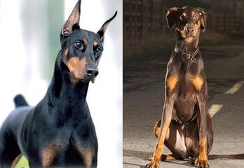 Vor Allem Dobermanns Reg'd - Dog Breeders