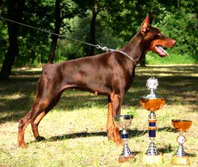 kandjdesert dobermans - Dog Breeders