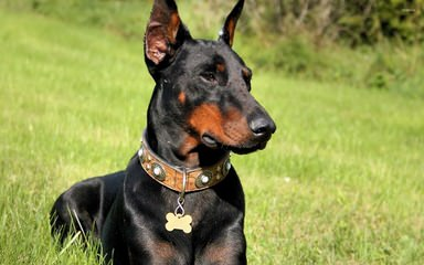 Champion Akc Registered Dobermans And Studding Service - Dog Breeders