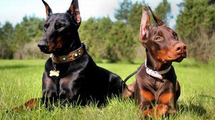 Dawhenya Dobermans - Dog Breeders