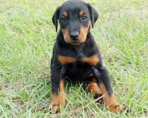 Champion Bloodline Puppies - Dog Breeders