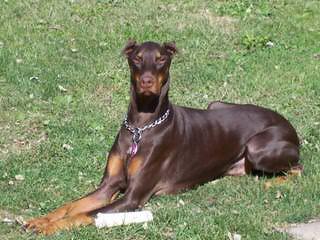 kandjdesert dobermans - Dog Breeders