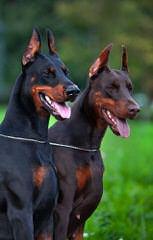 Doodleman Pinchers/Dobermans - Dog Breeders