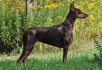 Dobermans - Dog Breeders