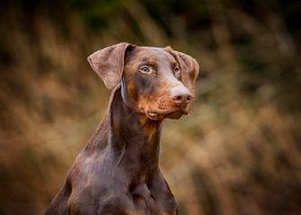 Hunnoterra Dobermann Kennel - Dog Breeders
