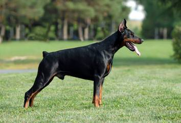 royalmajestic dobermans - Dog Breeders